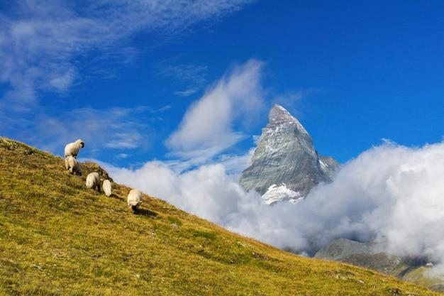 Beautiful idyllic alpine landscape with sheep and matterhorn mountain, alps mountains  and countryside in summer, zermatt, switzerland