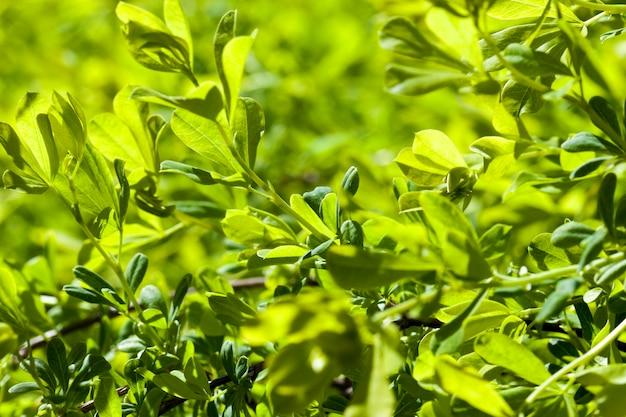 Красивая освещенная листва деревьев в весенний сезон, крупным планом
