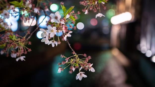 夜の京都の高瀬川に美しく照らされた桜の桜が並びます。日本の街に咲く素晴らしい日本の桜の春の風景