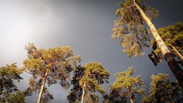 숲의 높은 소나무 위로 날아가는 검은 비오는 검은 구름의 아름다운 이미지. 폭풍 전의 고요한 자연