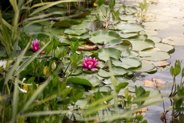 日の出の池の上のピンクの睡蓮の美しい画像