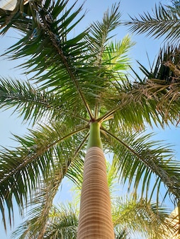 Beautiful image of tall palm tree with long green leaves against bright blue sky. looking up from the ground