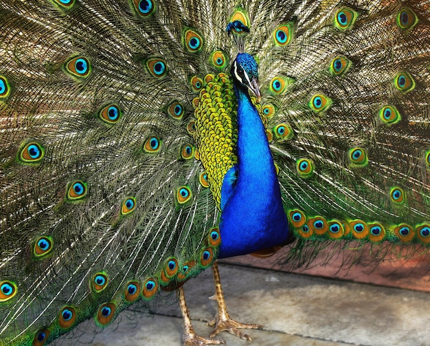 Beautiful indian peacock with peacock feathers in the peacock's tail
