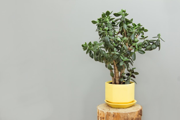 Beautiful indoor flower crassula in a yellow pot on a wooden podium on a gray wall