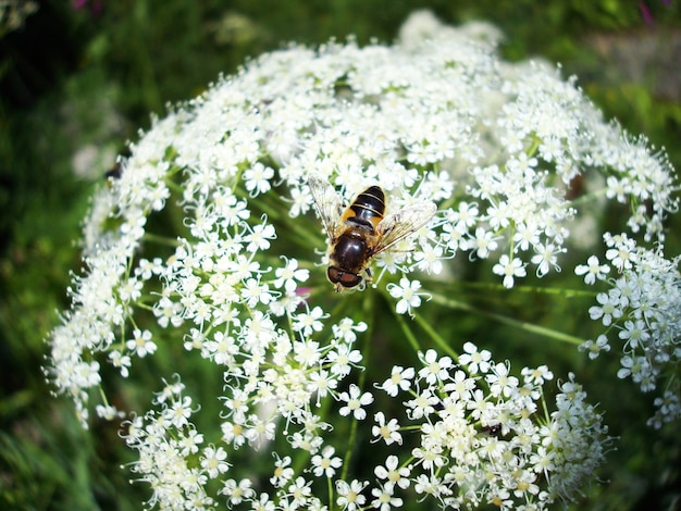 Beautiful insect on a heracleum plant in summer