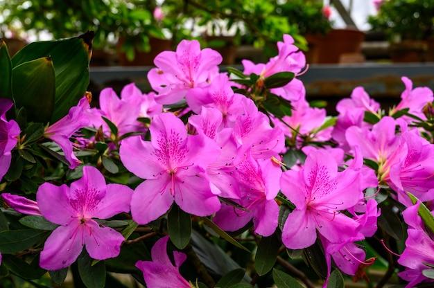 식물원에 있는 아름다운 흥미로운 냄비. 진달래 핑크