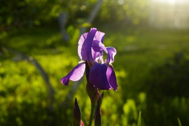 Bellissimo fiore di iris sotto la luce del sole, circondato dal verde con uno sfondo sfocato