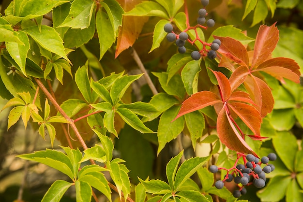 Beautiful ivy parthenocissus quinquefolia. clinging red, yellow, green autumn leaves on the stone wall.