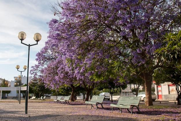 公園の美しいジャカランダmimosifolia亜熱帯の木。
