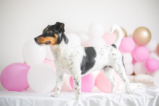 白い背景にたくさんの風船を持つ美しいジャックラッセルテリア犬。ペットと休日のコンセプト