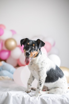 Beautiful jack russel terrier dog with many balloons on white background