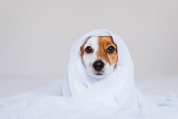 自宅のベッドの上の美しいジャックラッセル犬は白いシートで覆われています。家、屋内、ライフスタイルのコンセプト