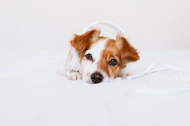 Красивая собака джека рассела лежа на кровати слушая к музыке на шлемофоне. дома, в помещении, музыка и образ жизни