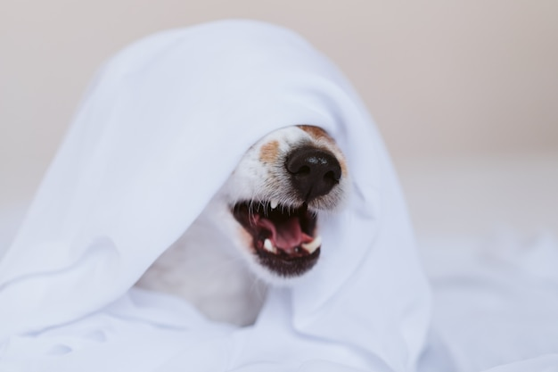 Beautiful jack russell dog yawning at home on bed covered with a white sheet. home, indoors and lifestyle concept