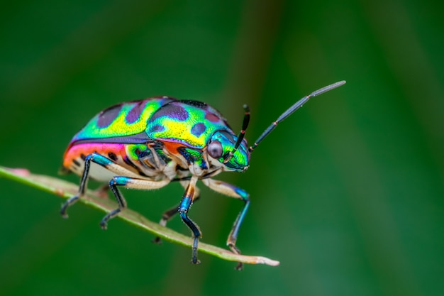 Beautiful jewel bug (chrysocoris patricius) natural macro photograph