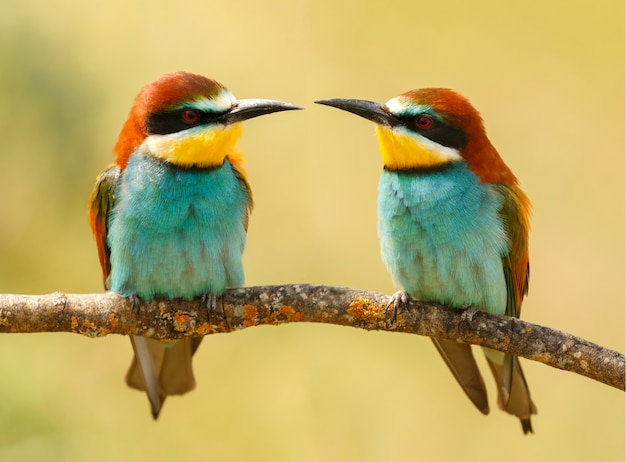 Beautiful kiss with a couple of bee-eaters