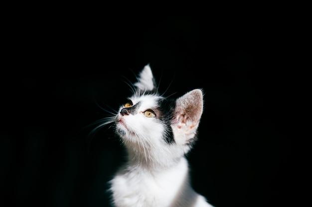 黒の背景の上の美しい子猫の銃口。