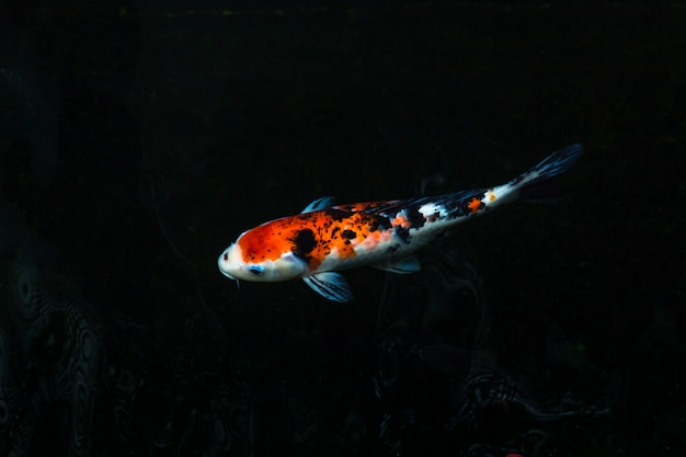 The beautiful koi fish swimming in dark pool, fancy carps fish or koi swim in pond in the garden