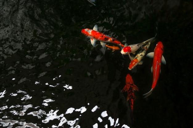 The beautiful koi fish swimming in dark pool, fancy carps fish or koi swim in pond in the garden