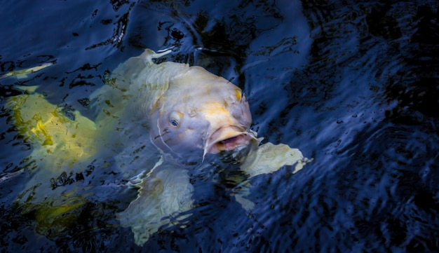 Красивая рыба кои плавает в пруду Premium Фотографии