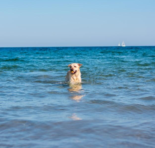 Beautiful labrador dog having fun on the beach