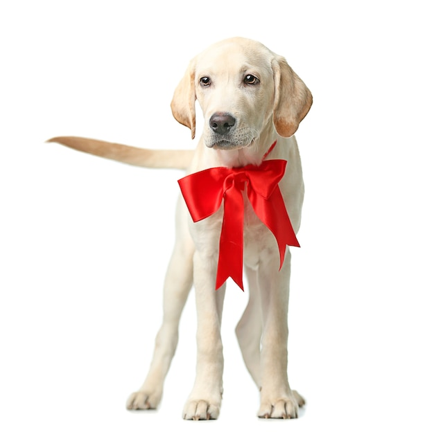 Beautiful labrador retriever with red bow isolated on white surface