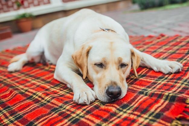 美しいラブラドールは眠りたい!家の外の赤い毛布のカーペットに横たわっている眠そうな犬。