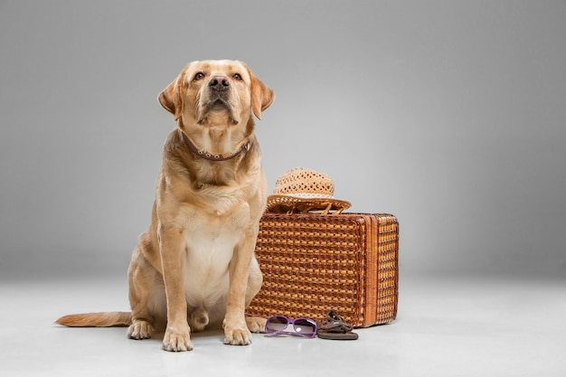 Beautiful labrador with the suitcase
