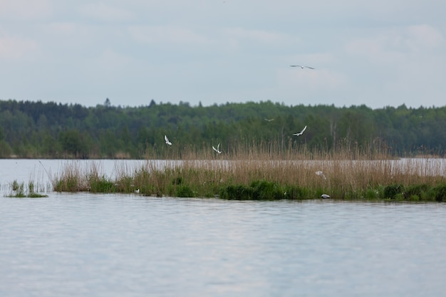 Beautiful lake in russian north with the small grassy island and lots of sea gulls