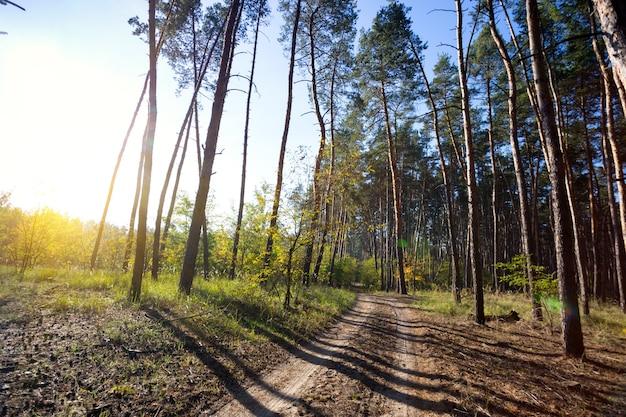 美しい風景と自然の散歩。早朝の美しい秋の松林と青い空
