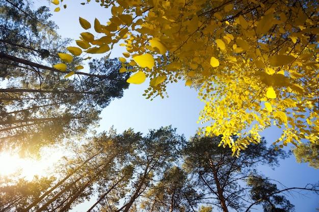 美しい風景と自然の散歩。青い空を背景に美しい松林
