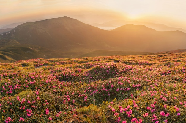 Beautiful landscape of carpathian mountain with blossoming rhododendron flowers at sunrise