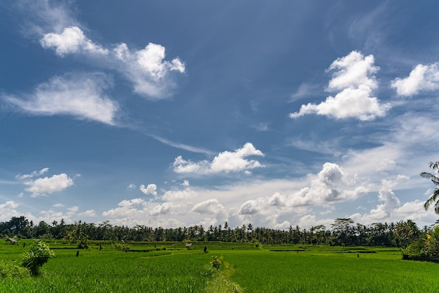 Beautiful landscape of exotic palm trees and rice fields under bright sky, sunny summer day