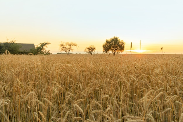 Beautiful landscape of a field with spikelets during sunset time