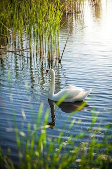 Beautiful landscape of lake with white swan