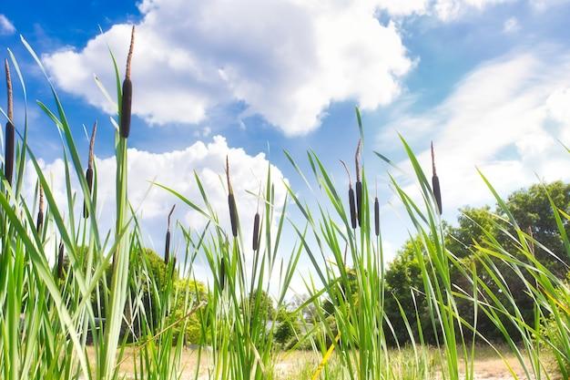 青い空に雄牛のラッシュと葦のメイスの美しい風景