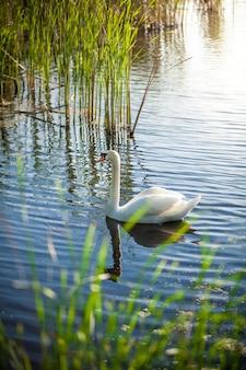 Красивый пейзаж озера с белым лебедем