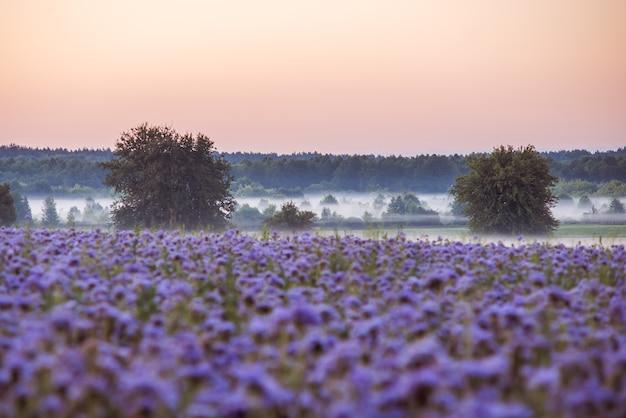 日の出前にphaceliaの花のフィールドの近くの谷の朝の霧の美しい風景