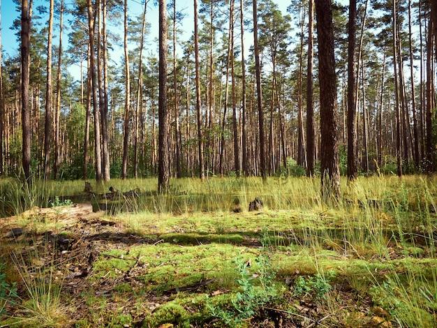 夏の日の松林の美しい風景。