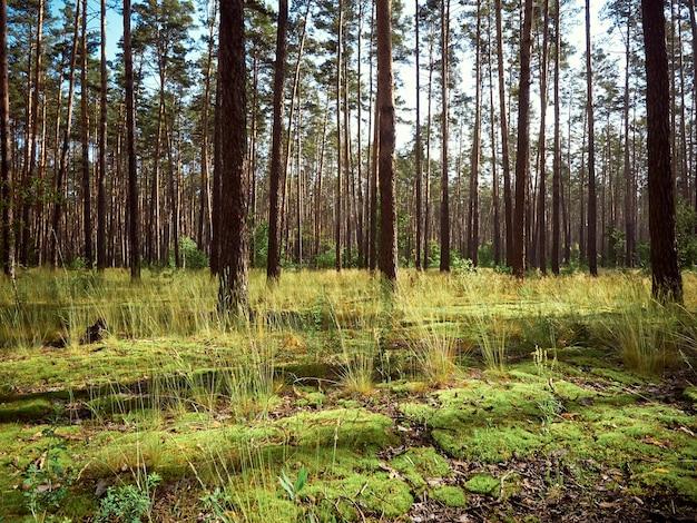 Красивый пейзаж соснового леса в летний день.