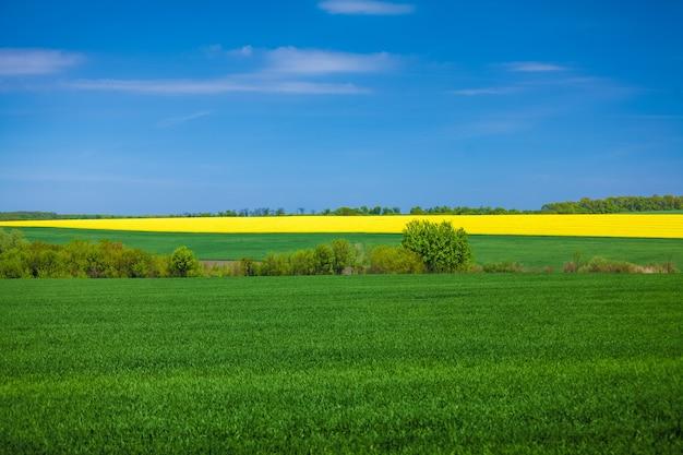晴れた日の菜の花畑の美しい風景