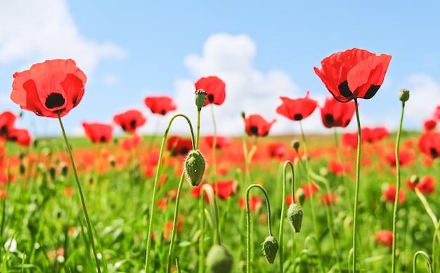 Красивый пейзаж летнего макового поля с красными цветами маковая плантация