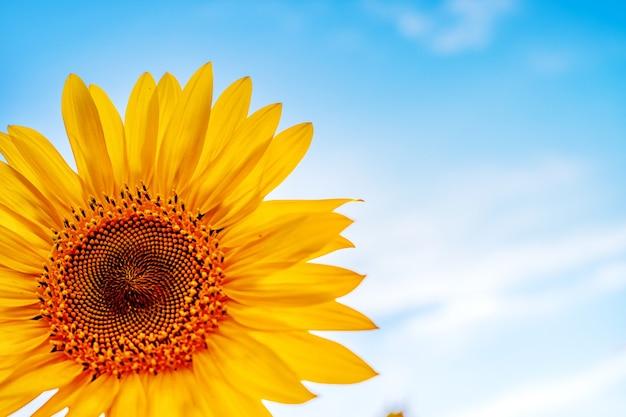 Красивый пейзаж на поле подсолнухов ярко-желтый цветок