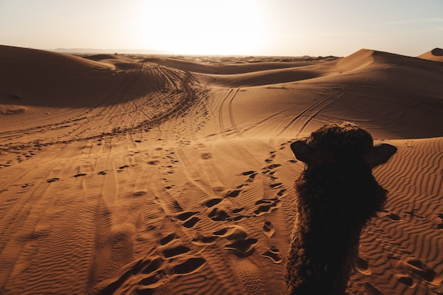 A beautiful landscape of the sand dunes in the sahara desert in morocco. travel photography. a camel walking in the desert