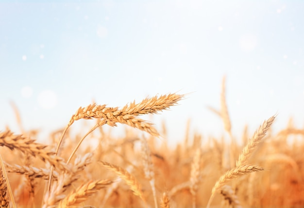 Beautiful landscape spikelets of wheat close up