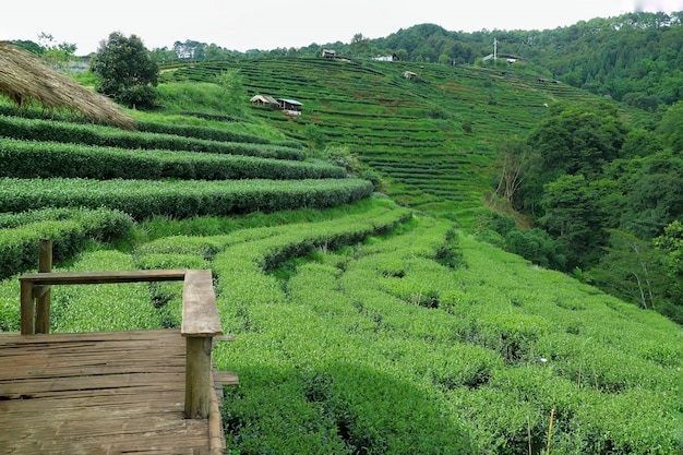Beautiful landscape of tea plantation valley with view point in summer time.
