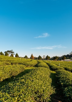 Beautiful landscape view of large tea farm on the hill with fresh leaves
