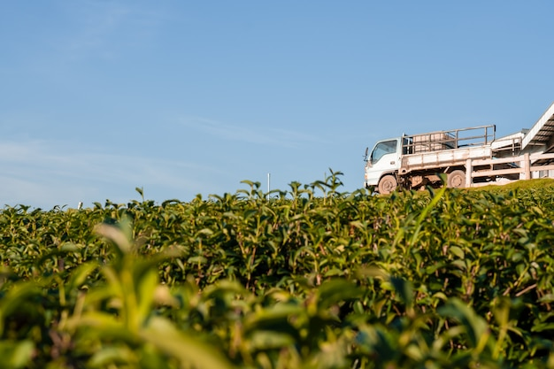 Beautiful landscape view of large tea farm on the hill with warehouse and truck