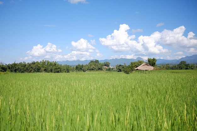 Beautiful landscape view of rice terraces and cottage.