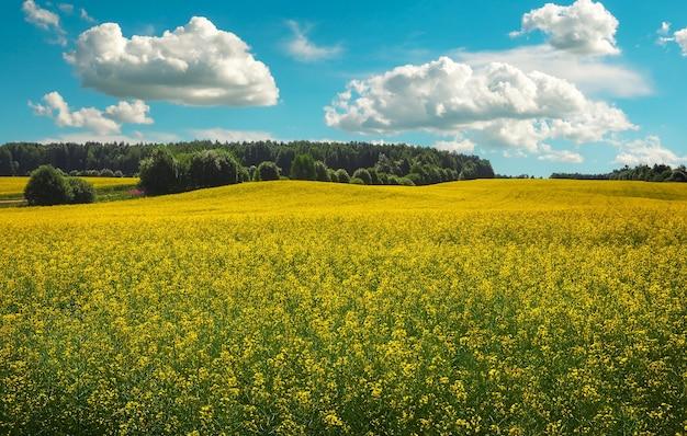 노란색 카놀라(브라시카 나푸스 l.)와 푸른 흐린 하늘이 있는 아름다운 풍경